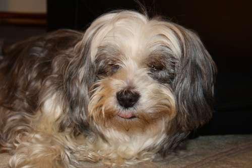 Dog Dog Face Fur Wuschelig Hybrid