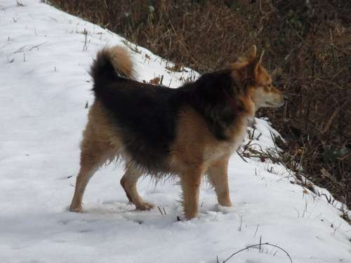 Dog Pet Ronja Animal Snow Winter