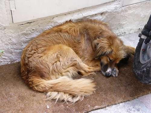 Dog Siesta Sleep