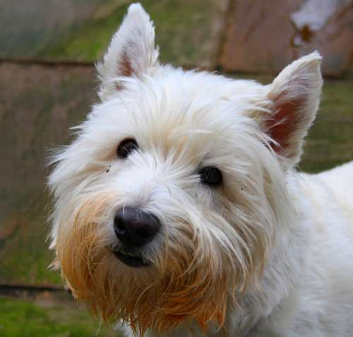 Dog Humour Animal Pet Dogs Westie West High
