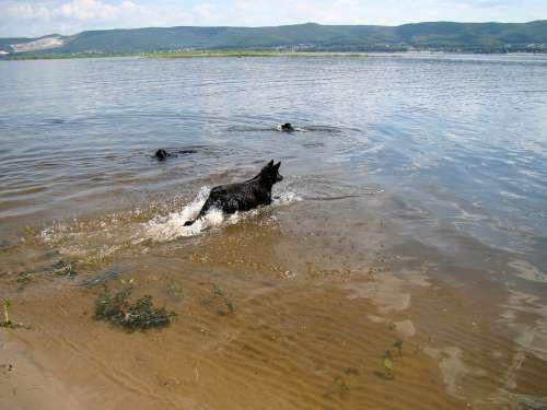 Dogs Float River Summer Sun Volga Samara Russia