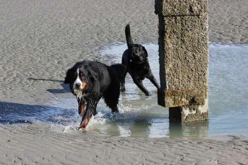 Dogs Bernese Mountain Dog Labrador