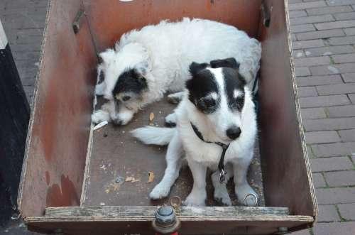 Dogs Black White Pet Animal Tired Hybrid Head