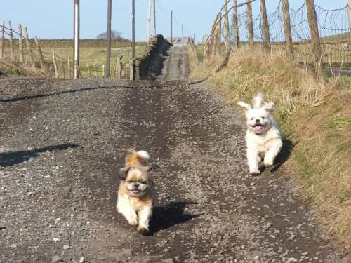 Dogs Playful Running Small Dogs Pets Animals
