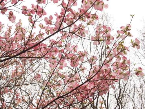 Dogwood Spring Flowering Bloom Blossom Plant
