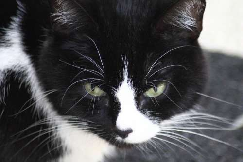 Domestic Cat Black And White Cat Cat Face Animals