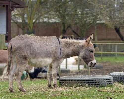 Donkey Animal Mammal Standing Field Outdoors