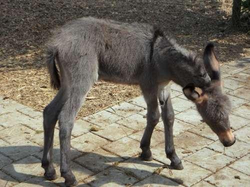 Donkey Donkey Foal Clumsy Foal Animal Farm