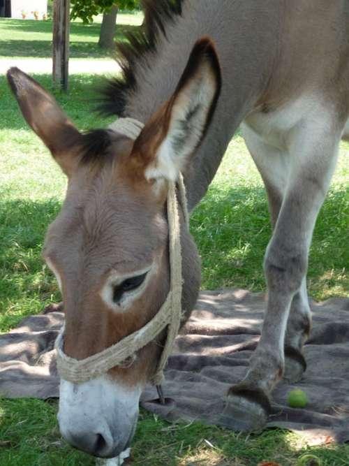Donkey Brown Animal Eat Head Ears Halter Grass