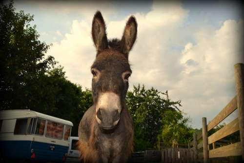 Donkey Caravan Amorette 1966