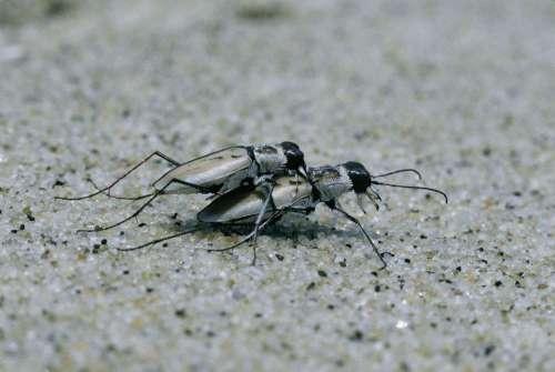 Dorsalis Cicindela Beetles Tiger Beach