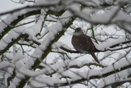 Dove Tree Winter Snow