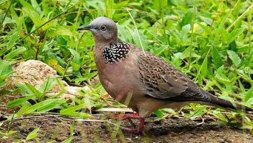 Dove Bird Close Up