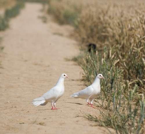 Dove Doves Bird Birds Animal White Two Pigeon