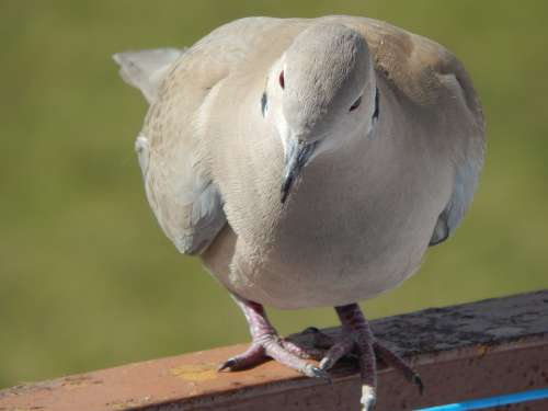 Dove Animals Beak