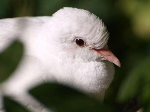 Dove White Dove White Bill Bird Close Up