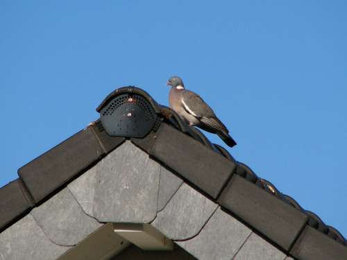 Dove Roof Gable Bird Sky Blue Tile