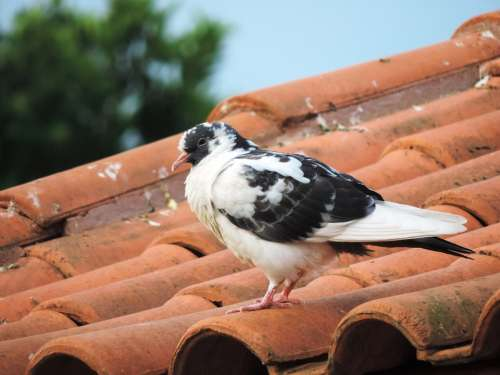 Dove Roof Nature Birdie Bird Freedom