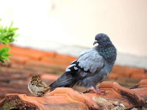 Dove Roof Black Dove Bird Freedom