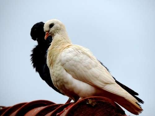 Dove Roof Bird Birdie Freedom White Black