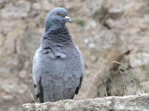 Dove City Bird Grey Wall Stone