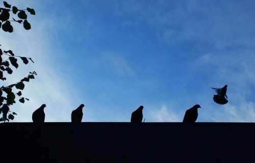 Doves Animal Sky Bird Fly Blue Pigeon