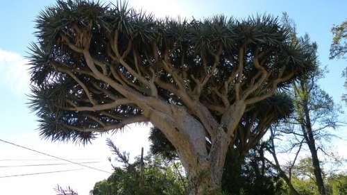 Dragon Tree Madeira Portugal Flora