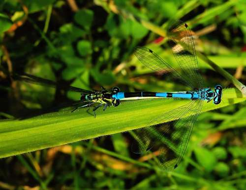 Dragonflies Pairing Couple Connectedness Light Blue