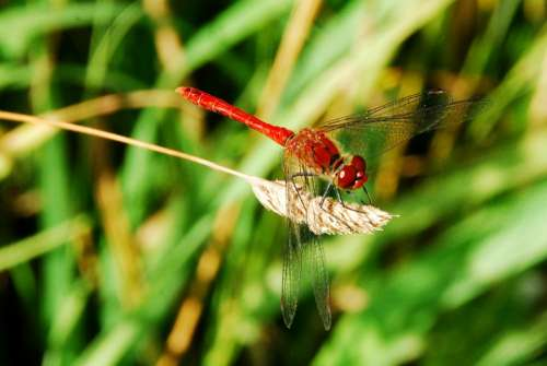 Dragonfly Insect Red Close Up Macro