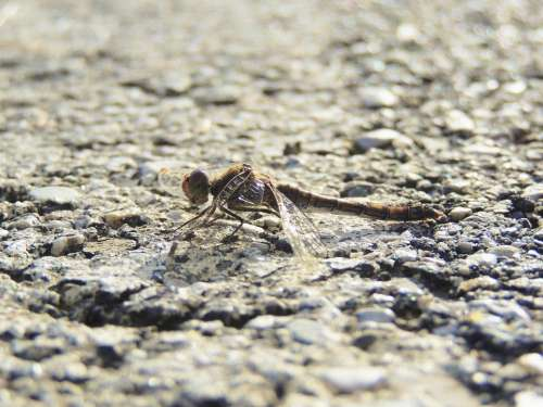 Dragonfly Insect Close Up Animal Macro Nature