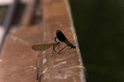 Dragonfly Pairing Nature Couple Animals