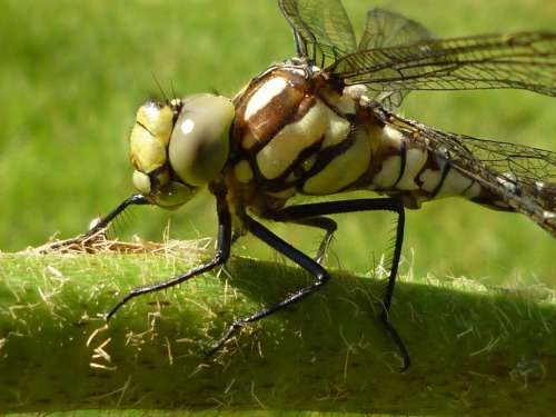 Dragonfly Insect Nature Close Up Animal