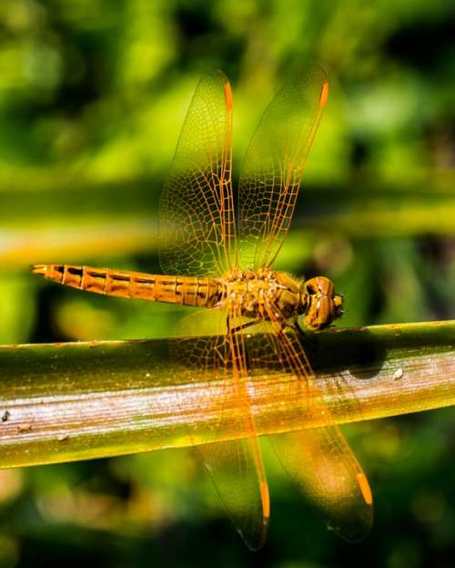 Dragonfly Insect Animal Close Up Wing Chitin