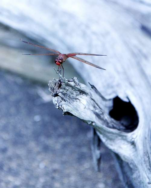 Dragonfly Insect Bug Nature Close-Up Red