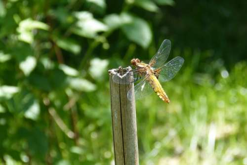 Dragonfly Sailing Dragonfly Plattbauch Female