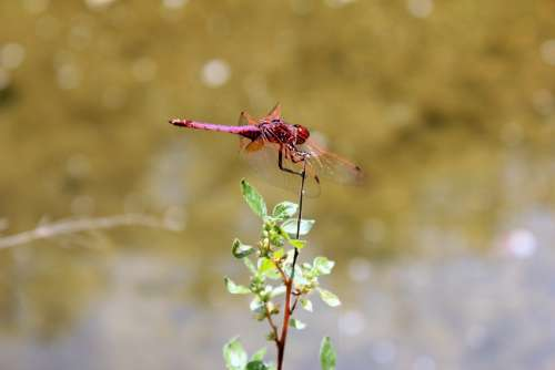 Dragonfly Beetle Red