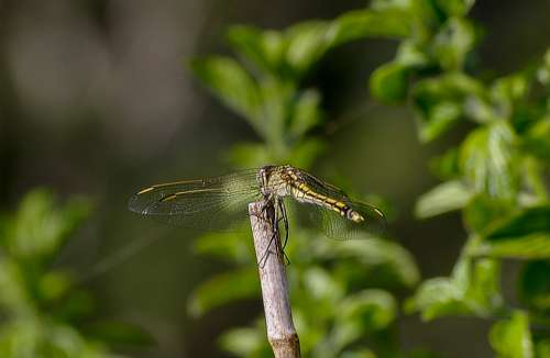 Dragonfly Insect Black Yellow Wings Lacy Resting
