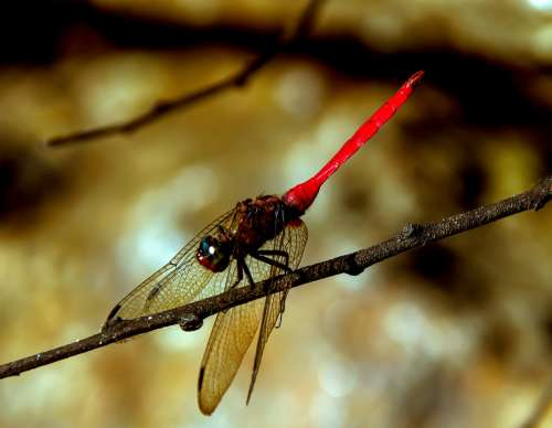 Dragonfly Insect Red Black Wings Lacy Resting