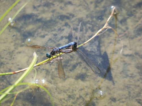 Dragonfly Insect Mating Nature Bug Wildlife