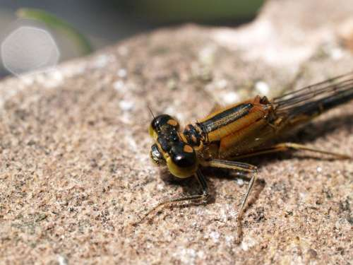 Dragonfly Insect Nature Animal Stone Brown Eyes