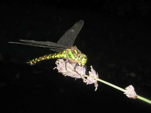 Dragonfly Insect Wing Animal