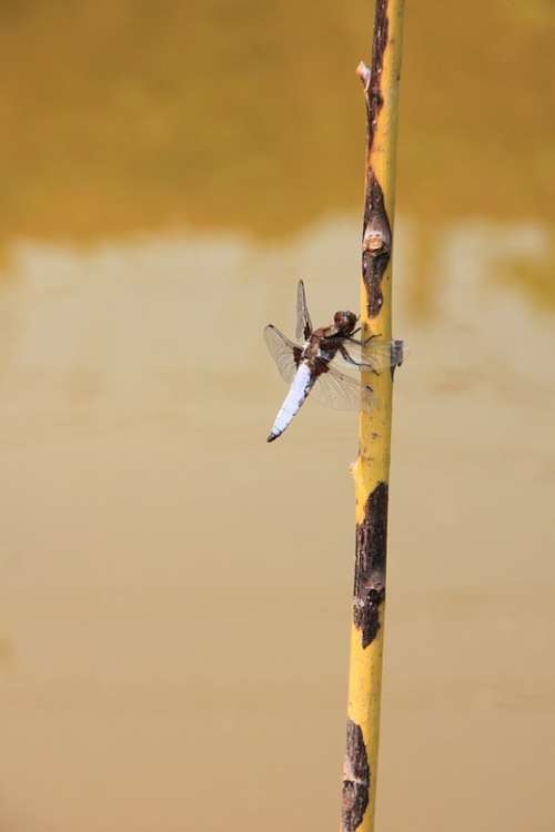 Dragonfly Hanging Large Water Willow Insects