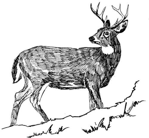 Drawing Black Deer Tailed White Illustration Line