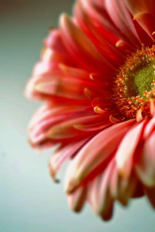 Dreamy Gerbera Flower Colorful Nature Macro