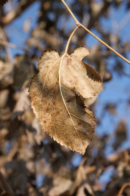 Dried Leaves Mulberry Trees Autumn Health Plants