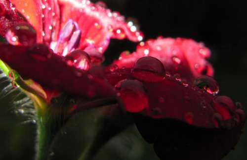 Drip Flower Blossom Bloom Red Geranium Water