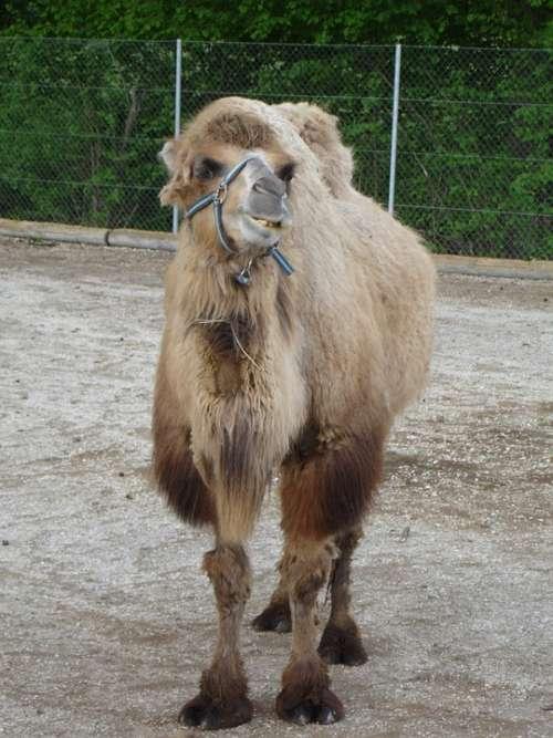 Dromedary Camel Camelus Dromedarius