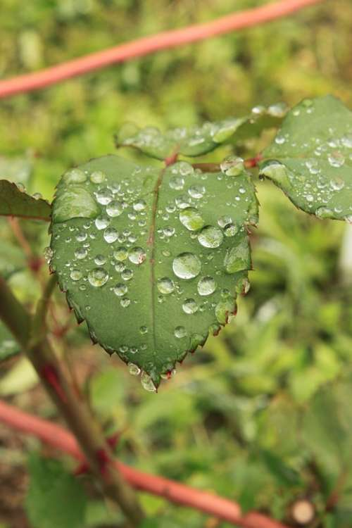 Drops Green Leaf Leaves Raindrops Rose