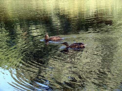 Duck Wild Ducks Pond Lake Reflection Glitter