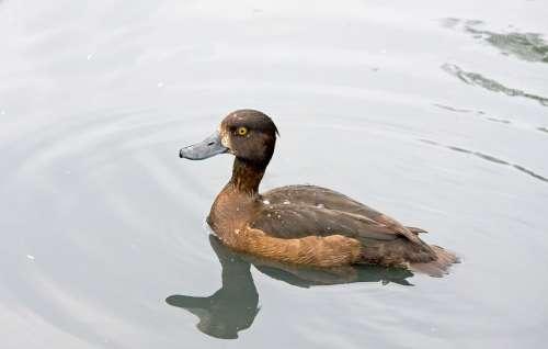 Duck Brown Bird Pretty Animal Wildlife Nature